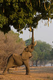African elephant bull (Loxodonta africana) reaching up. Browsing Sausage Tree (Kigelia africana Stock Images