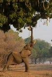 African elephant bull (Loxodonta africana) reaching up Stock Images