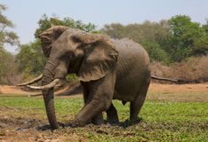 African elephant bull (Loxodonta africana) taking a mud bath Stock Photos
