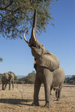 African Elephant bull reaching up at tree. With trunk Stock Photo