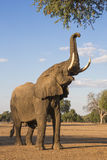 African Elephant bull reaching up at tree Stock Image