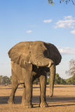 African Elephant bull resting his trunk Royalty Free Stock Photo