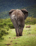 African elephant bull. Stock Image
