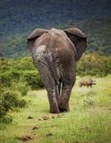 African elephant bull. stock image