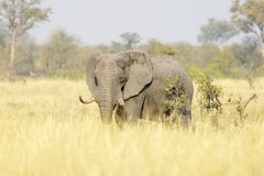 African Elephant bull on savannah. African Elephant Loxodonta africana, feeding bull on savanna, Kruger national park, South Africa Stock Photography