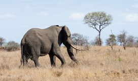 African Elephant Bull. An African Elephant bull in Southern African savanna stock image