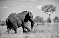 African Elephant Bull. An African Elephant bull in Southern African savanna stock photo