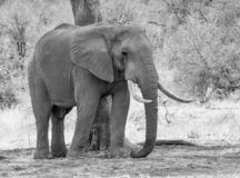 African Elephant Bull. An African Elephant bull in Southern African savanna stock images