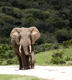 African elephant bull. stock photos