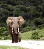 African elephant bull. Stock Photos