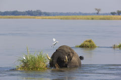 African Elephant bull in water Royalty Free Stock Photo