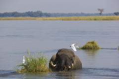 African Elephant bull in water Royalty Free Stock Photos