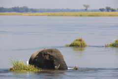 African Elephant bull in water Stock Images