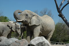 African elephant bulls. Two African elephant bulls at Toronto ZOO royalty free stock photo