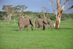 African Elephant bulls Royalty Free Stock Photo