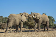 African Elephant bulls play-fighting Stock Images
