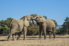 African Elephant bulls play-fighting Royalty Free Stock Photography