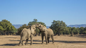 African Elephant bulls play-fighting Royalty Free Stock Photo