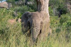 African elephant in the bush at Kruger National Park, South Africa. royalty free stock photos