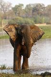 African Elephant Royalty Free Stock Photos