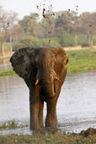 African Elephant Stock Image