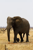 African Elephant Stock Photography