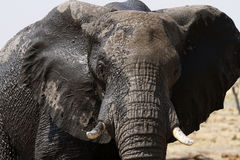 African Elephant. The African Bush elephant is the largest of the two sub-species of African elephant stock photos