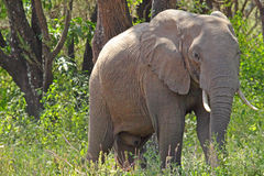 African elephant in the bush Royalty Free Stock Photo