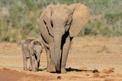 African elephant with calf Royalty Free Stock Images