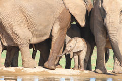 African Elephant calf amongst adults legs. While trying to work out how to drink with the thing called a trunk ! During it's stay at the waterhole it never royalty free stock photography