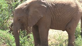 African Elephant calf grazing from a bush stock video