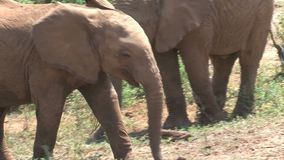 African Elephant calf grazing from a bush stock footage