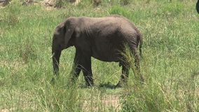 African Elephant calf grazing on the grassland stock video footage