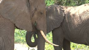 African Elephant calf grazing with its mother stock video