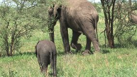 African Elephant calf grazing with its mother on grassland stock video