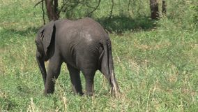 African Elephant calf grazing with its mother on grassland stock video footage