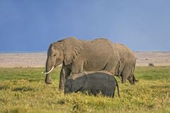 African Elephant with calf Royalty Free Stock Image