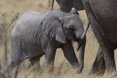 African elephant calf holds mother's tail in Etosha Stock Photos