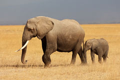 African elephant with calf. African elephant (Loxodonta africana) cow with young calf, Amboseli National Park, Kenya Royalty Free Stock Photography