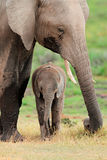 African elephant with calf. African elephant (Loxodonta africana) cow with young calf, Amboseli National Park, Kenya Stock Images
