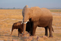 African elephant with calf Stock Image