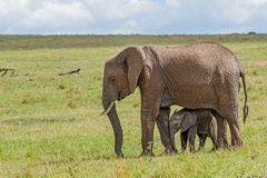 African Elephant with Calf Royalty Free Stock Photos