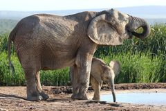 African Elephant Calf and Mother Royalty Free Stock Photo