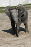 African elephant calf Stock Images