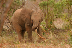 African elephant calf at play Stock Image