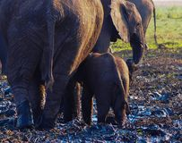 African Elephant and Calf walking away. African elephant and her calf Syncerus caffer walking away in mud. Location Chobe National Park, Chobe River stock photos