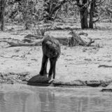 African Elephant Calf. An African Elephant calf at a watering hole in Southern African savanna royalty free stock image