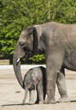 African elephant with calf Stock Photography