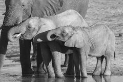African Elephant calves drinking. Black and white Stock Photography