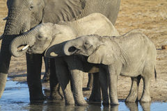 African Elephant calves drinking Stock Photography